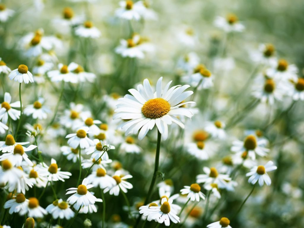 Bí quyết trị mụn cám và dưỡng da bằng hoa cúc trắng - Điều trị mụn Dr Huệ - Hình 2